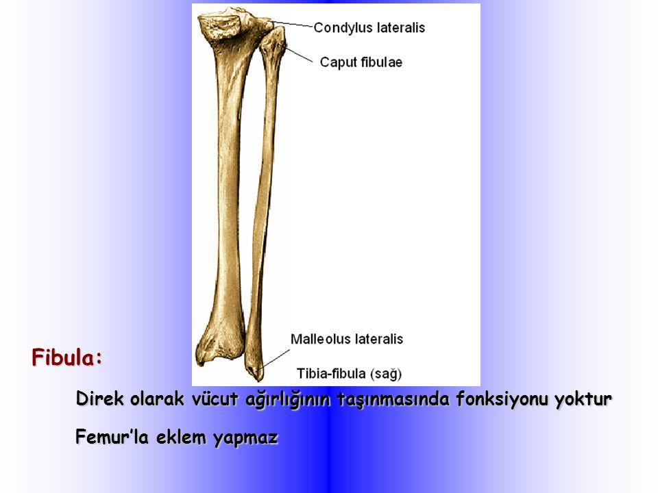 Fibula: Direk olarak vücut ağırlığının taşınmasında fonksiyonu yoktur Femur'la eklem yapmaz