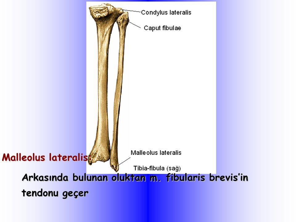 Malleolus lateralis: Arkasında bulunan oluktan m. fibularis brevis'in tendonu geçer