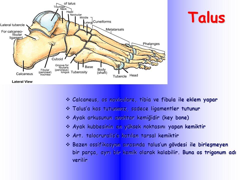 Talus  Calcaneus, os naviculare, tibia ve fibula ile eklem yapar  Talus'a kas tutunmaz, sadece ligamentler tutunur  Ayak arkusunun anahtar kemiğidir (key bone)  Ayak kubbesinin en yüksek noktasını yapan kemiktir  Art.