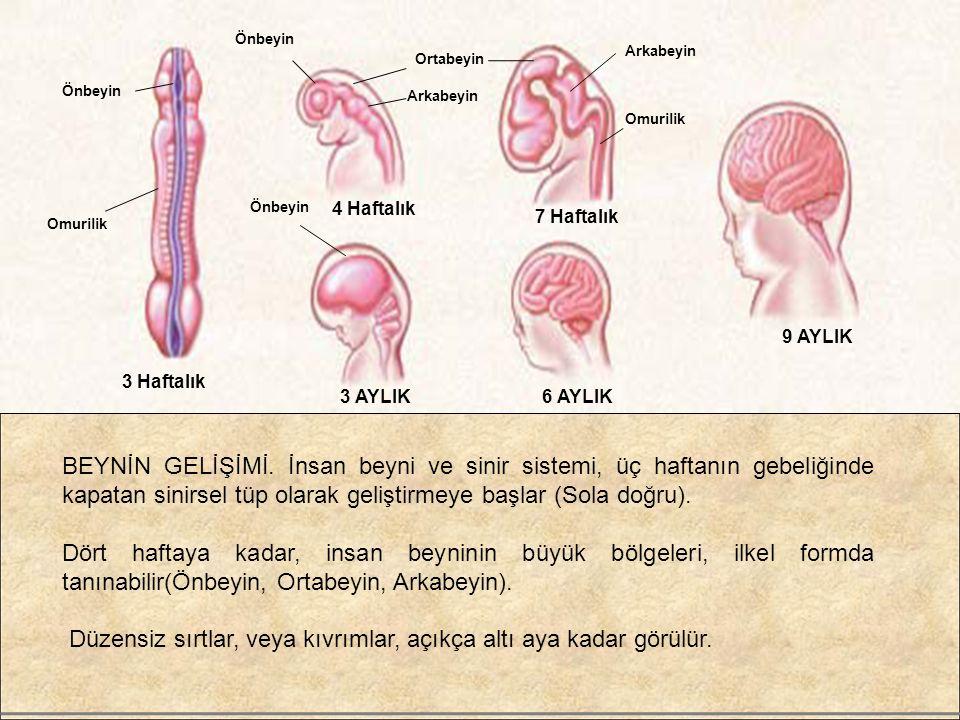 Omurilik Önbeyin Ortabeyin Arkabeyin Omurilik 3 Haftalık 4 Haftalık 7 Haftalık 3 AYLIK 9 AYLIK 6 AYLIK BEYNİN GELİŞİMİ. İnsan beyni ve sinir sistemi,