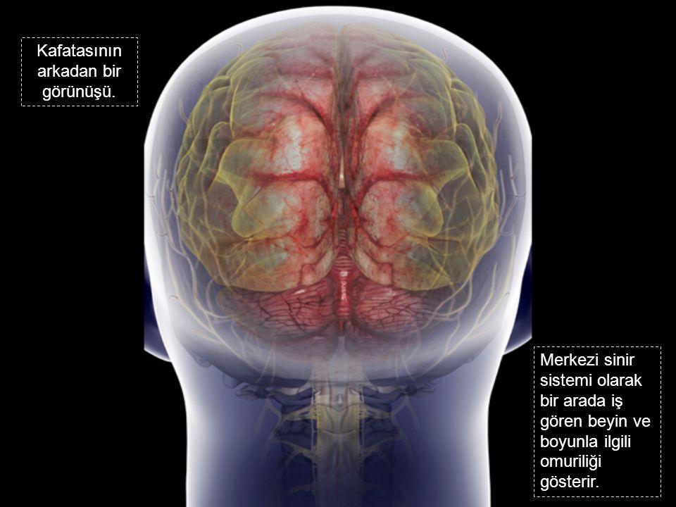 Kafatasının arkadan bir görünüşü. Merkezi sinir sistemi olarak bir arada iş gören beyin ve boyunla ilgili omuriliği gösterir.