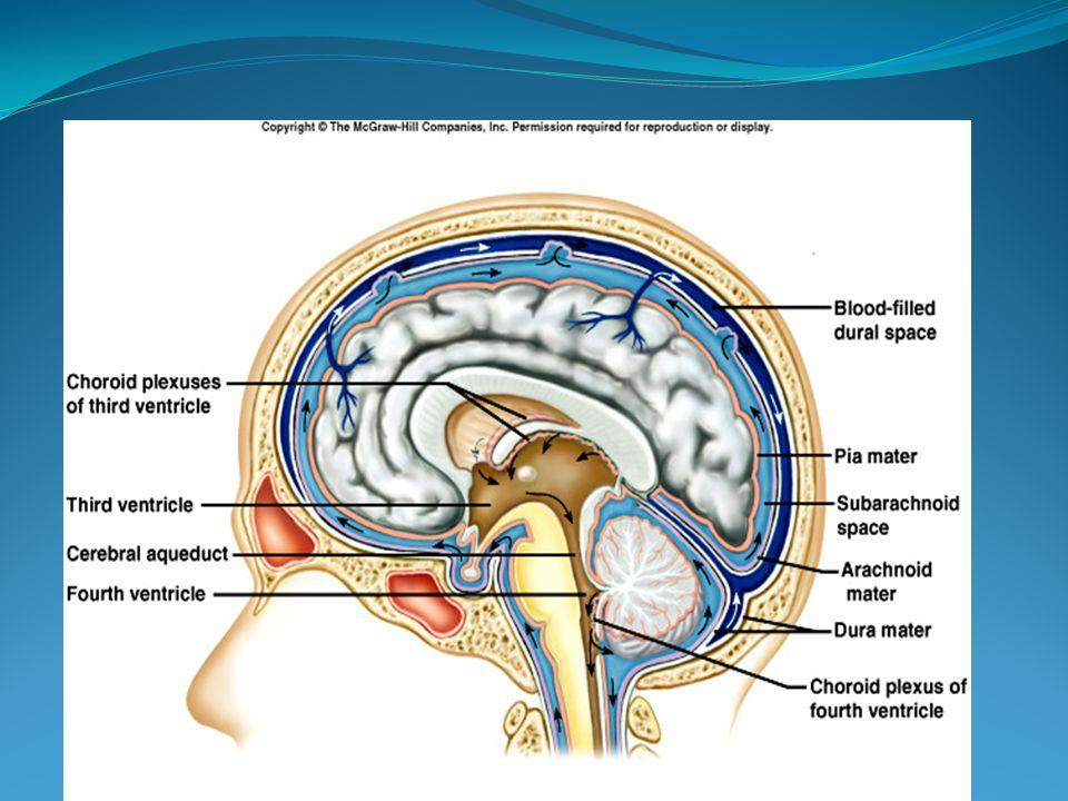 BOS'un %80'i koroid pleksuslar tarafından üretilir.