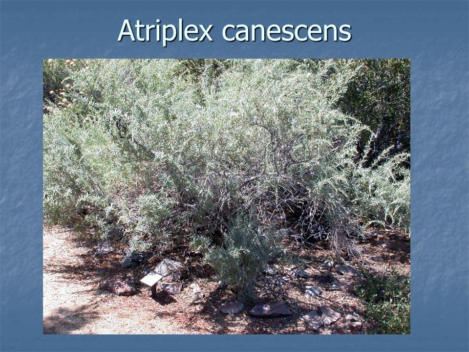 Atriplex canescens