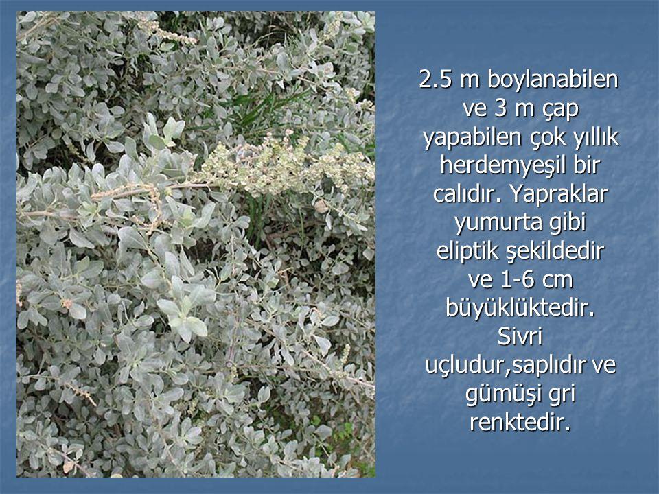 2.5 m boylanabilen ve 3 m çap yapabilen çok yıllık herdemyeşil bir calıdır. Yapraklar yumurta gibi eliptik şekildedir ve 1-6 cm büyüklüktedir. Sivri u