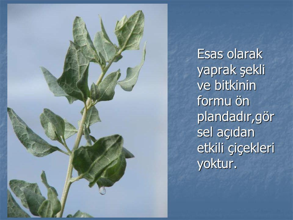 Esas olarak yaprak şekli ve bitkinin formu ön plandadır,gör sel açıdan etkili çiçekleri yoktur.