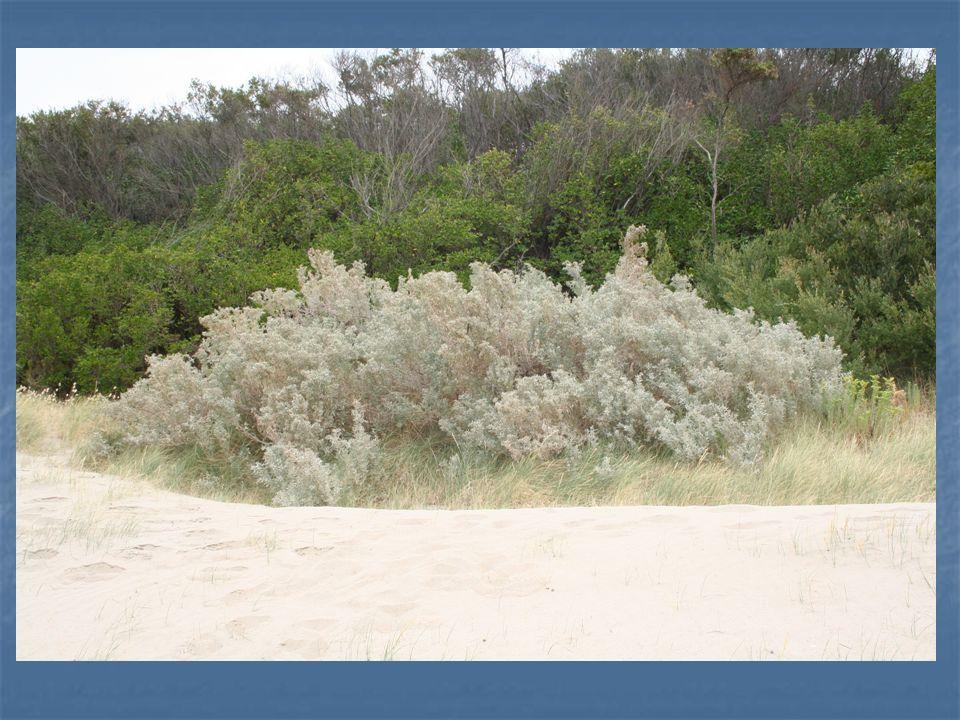 Bu cinsin bazı türleri deniz kenarı bitkilendirmesi için oldukça uygundur.