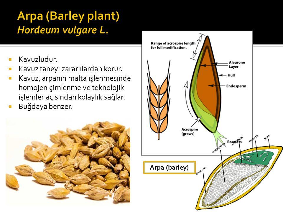Arpa (barley)  Kavuzludur. Kavuz taneyi zararlılardan korur.