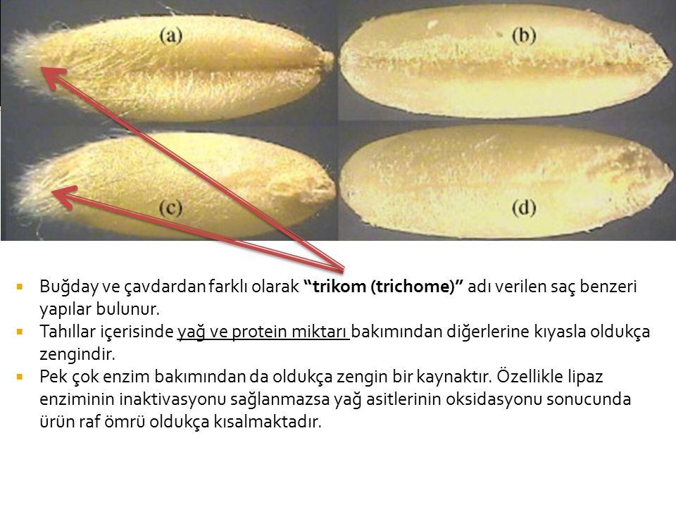  Buğday ve çavdardan farklı olarak trikom (trichome) adı verilen saç benzeri yapılar bulunur.