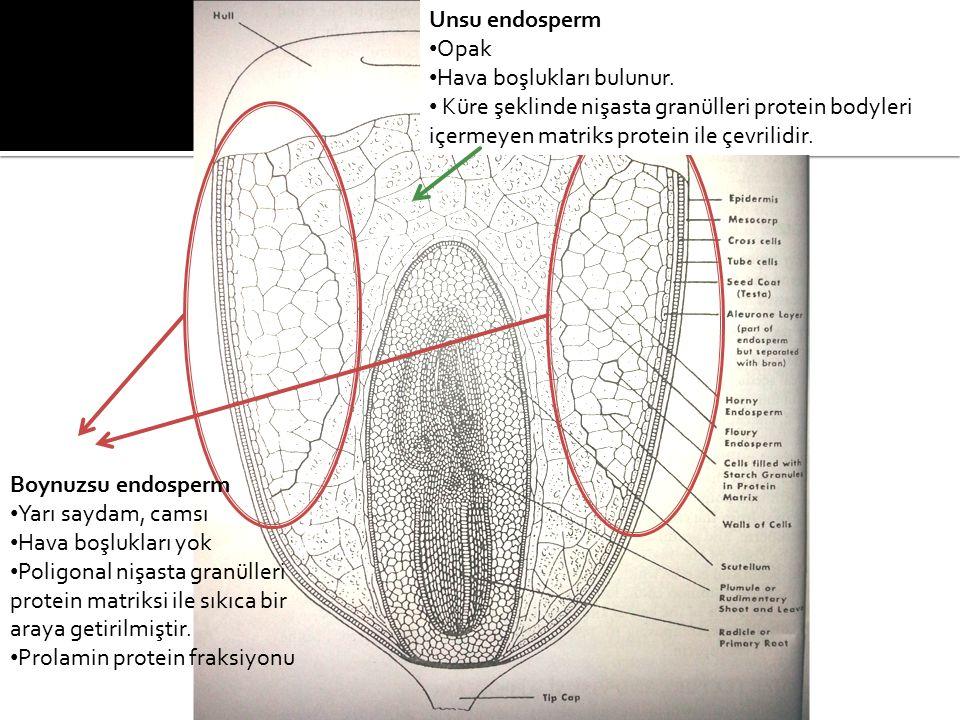 Boynuzsu endosperm Yarı saydam, camsı Hava boşlukları yok Poligonal nişasta granülleri protein matriksi ile sıkıca bir araya getirilmiştir.