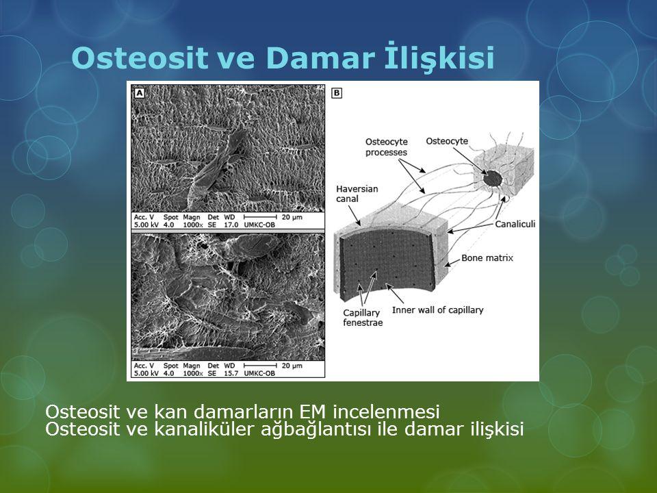 Osteosit ve Damar İlişkisi Osteosit ve kan damarların EM incelenmesi Osteosit ve kanaliküler ağbağlantısı ile damar ilişkisi