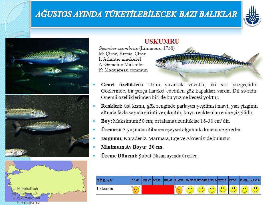 USKUMRU Scomber scombrus (Linnaeus, 1758) M: Çiroz, Kırma Çiroz İ: Atlantic mackerel A: Gemeine Makrele F: Maquereau commun Genel özellikleri: Uzun yu
