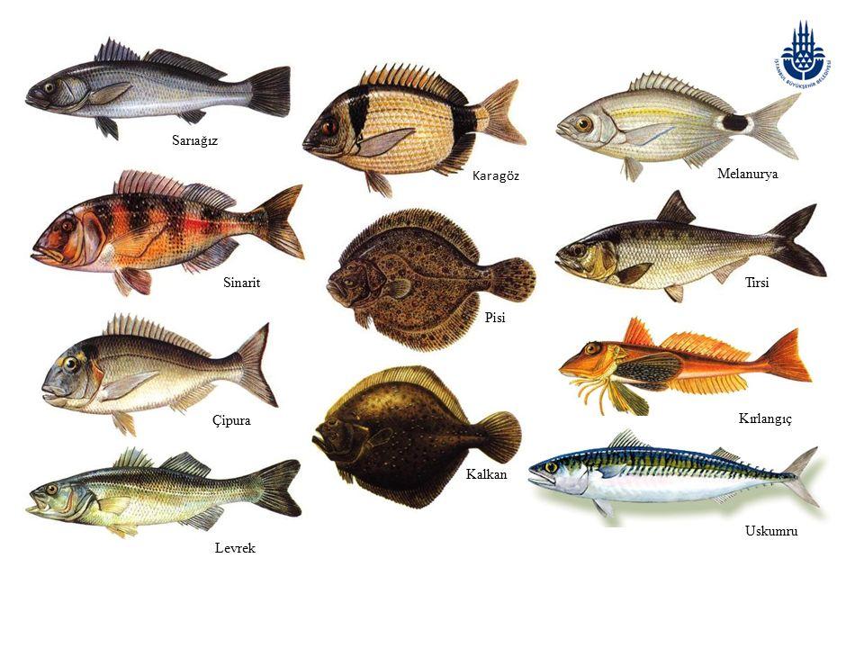 Genel özellikleri: Çipura balığında vücut oval, yanlardan yassılaşmış ön kısmı derindir.