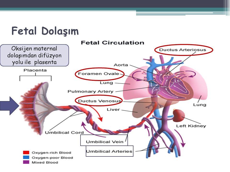 Plasenta = Akciğer Umbilikal ven (% 80 O  )  Duktus venozus Portal sinus  V.cava inferior Hepatik sinüsoidler  Hepatik ven  V.cava inferior Fetal Dolaşım