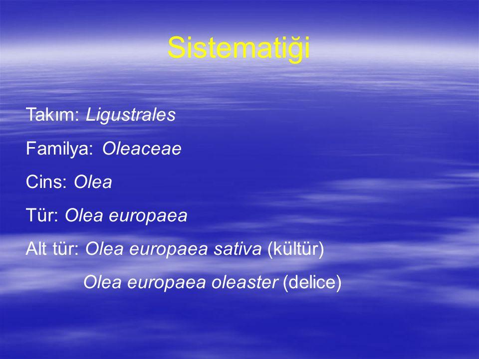 Sistematiği Takım: Ligustrales Familya: Oleaceae Cins: Olea Tür: Olea europaea Alt tür: Olea europaea sativa (kültür) Olea europaea oleaster (delice)