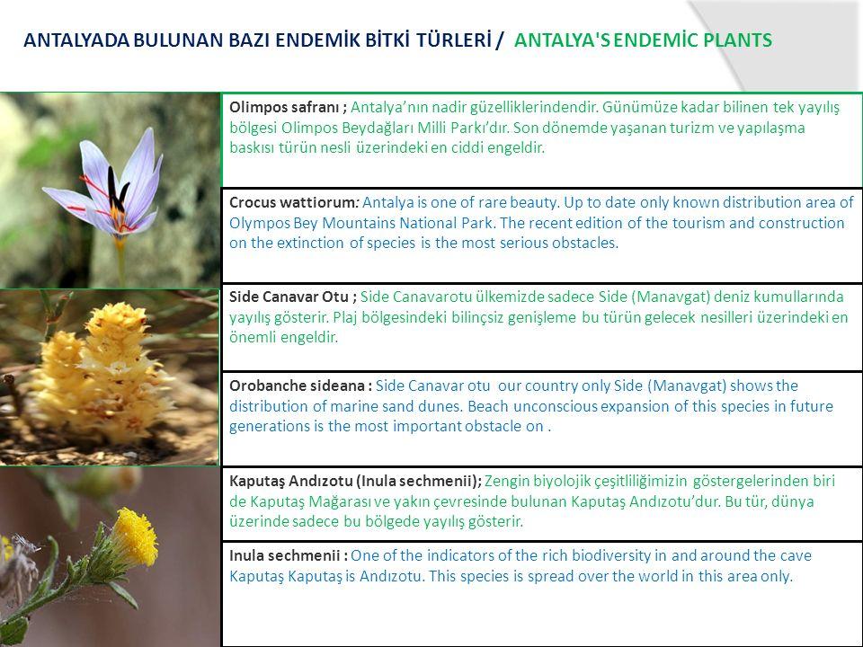 Olimpos safranı ; Antalya'nın nadir güzelliklerindendir. Günümüze kadar bilinen tek yayılış bölgesi Olimpos Beydağları Milli Parkı'dır. Son dönemde ya