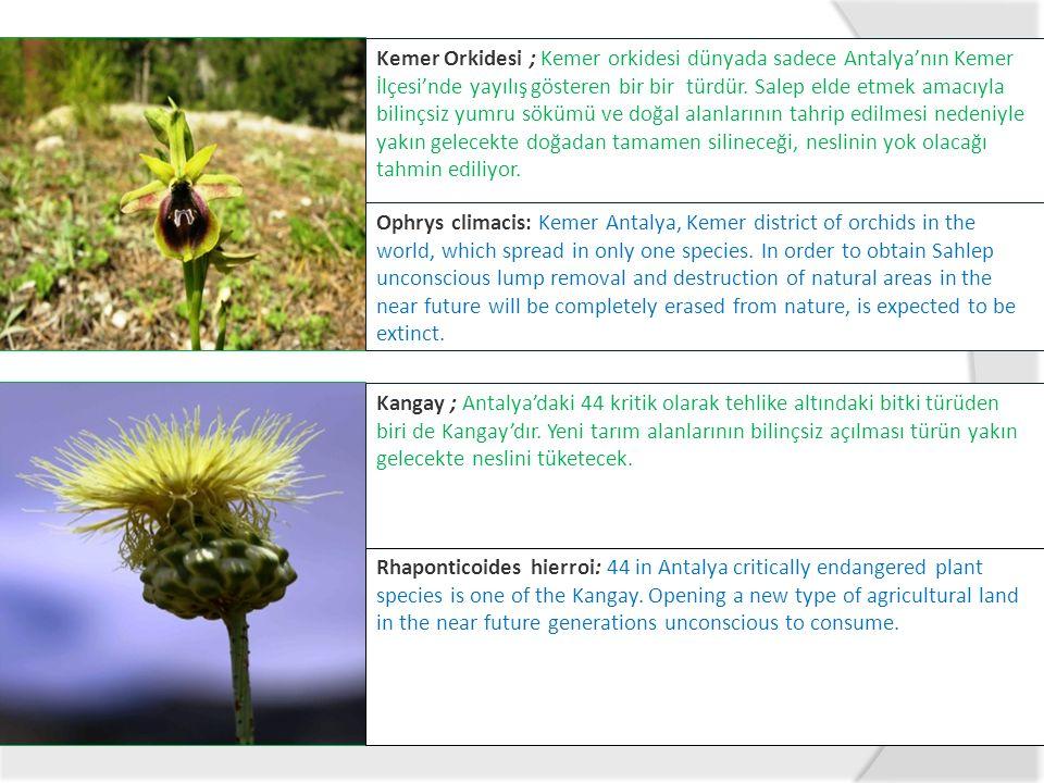 Kemer Orkidesi ; Kemer orkidesi dünyada sadece Antalya'nın Kemer İlçesi'nde yayılış gösteren bir bir türdür. Salep elde etmek amacıyla bilinçsiz yumru