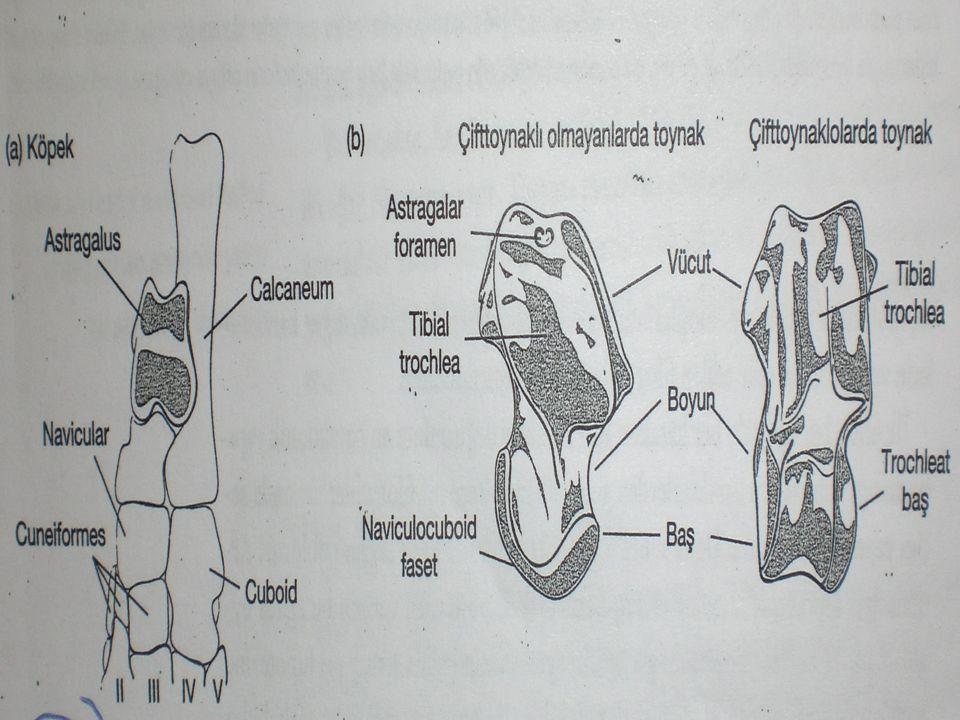 Çoklu Moleküler Karakterlerle Parsimoni