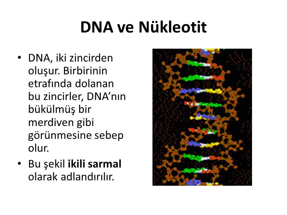 DNA ve Nükleotit DNA, iki zincirden oluşur. Birbirinin etrafında dolanan bu zincirler, DNA'nın bükülmüş bir merdiven gibi görünmesine sebep olur. Bu ş