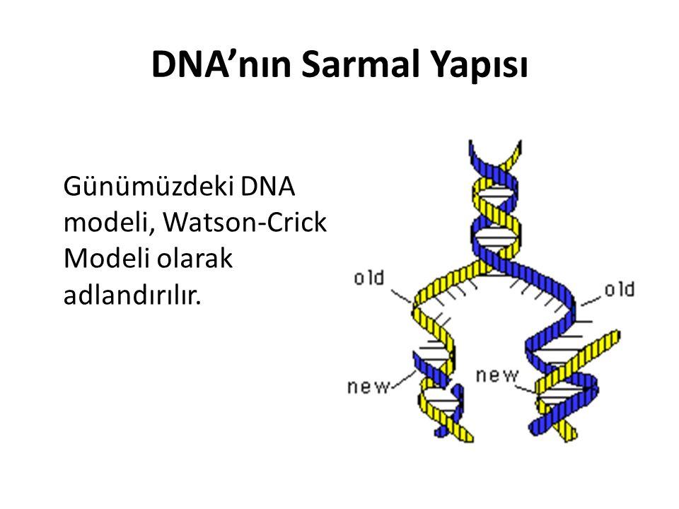 DNA'nın Sarmal Yapısı Günümüzdeki DNA modeli, Watson-Crick Modeli olarak adlandırılır.