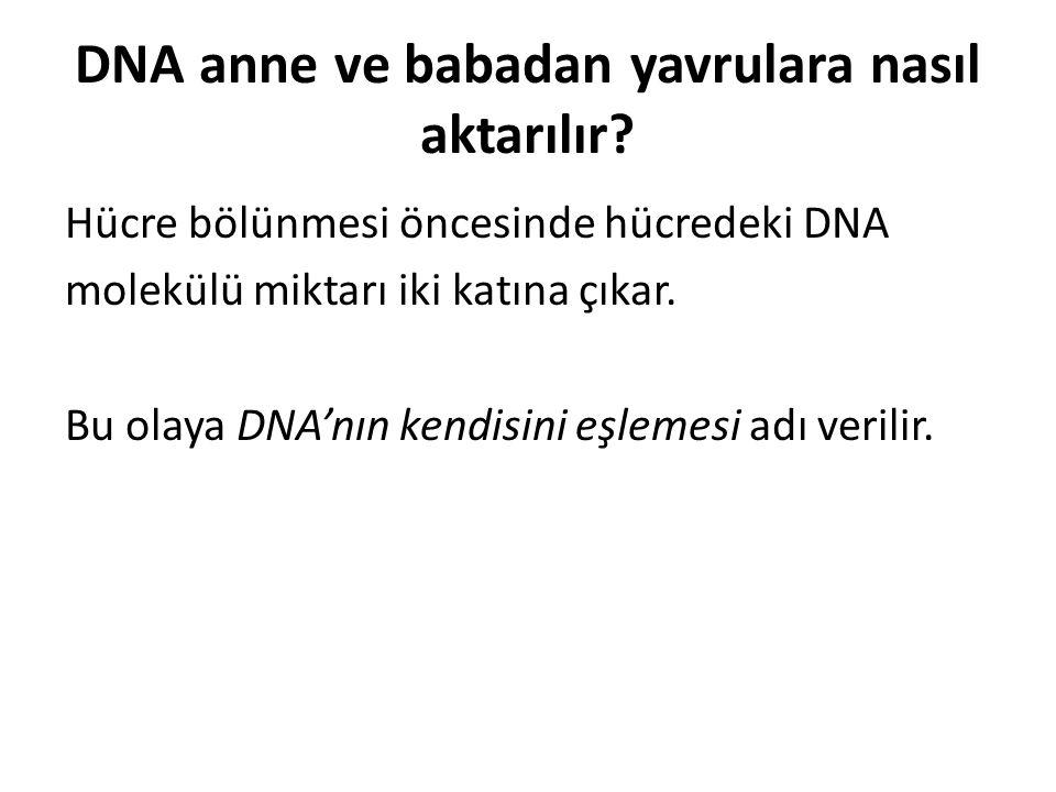 DNA anne ve babadan yavrulara nasıl aktarılır? Hücre bölünmesi öncesinde hücredeki DNA molekülü miktarı iki katına çıkar. Bu olaya DNA'nın kendisini e