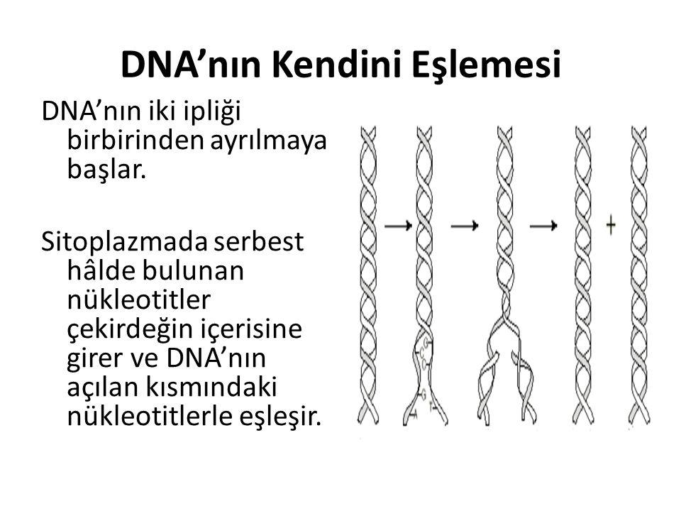 DNA'nın Kendini Eşlemesi DNA'nın iki ipliği birbirinden ayrılmaya başlar. Sitoplazmada serbest hâlde bulunan nükleotitler çekirdeğin içerisine girer v