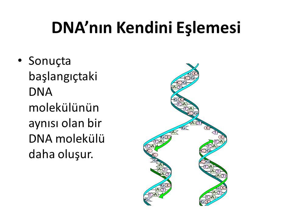 DNA'nın Kendini Eşlemesi Sonuçta başlangıçtaki DNA molekülünün aynısı olan bir DNA molekülü daha oluşur.