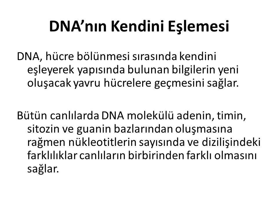 DNA'nın Kendini Eşlemesi DNA, hücre bölünmesi sırasında kendini eşleyerek yapısında bulunan bilgilerin yeni oluşacak yavru hücrelere geçmesini sağlar.