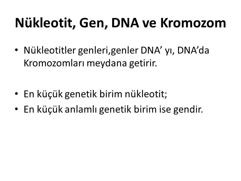 Nükleotit, Gen, DNA ve Kromozom Nükleotitler genleri,genler DNA' yı, DNA'da Kromozomları meydana getirir. En küçük genetik birim nükleotit; En küçük a