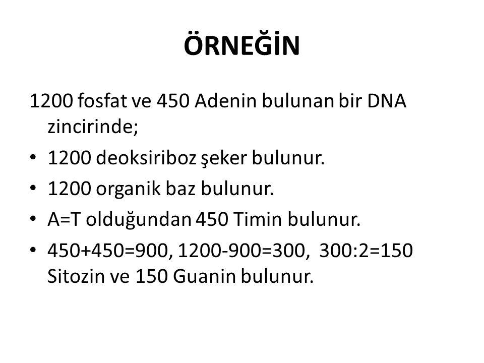 ÖRNEĞİN 1200 fosfat ve 450 Adenin bulunan bir DNA zincirinde; 1200 deoksiriboz şeker bulunur. 1200 organik baz bulunur. A=T olduğundan 450 Timin bulun