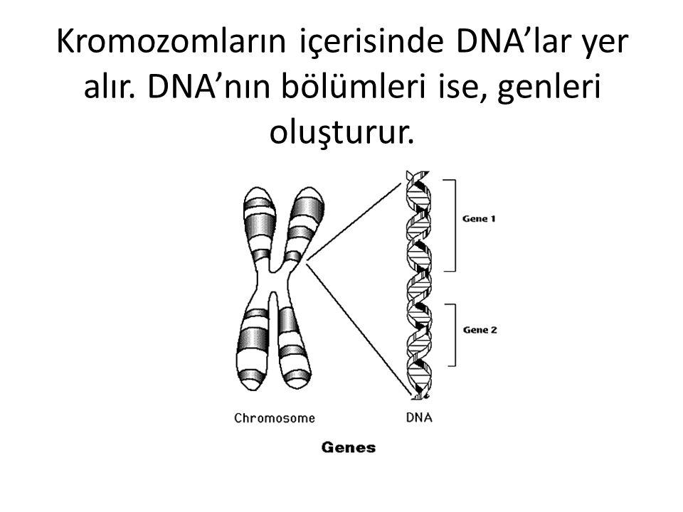 Kromozomların içerisinde DNA'lar yer alır. DNA'nın bölümleri ise, genleri oluşturur.