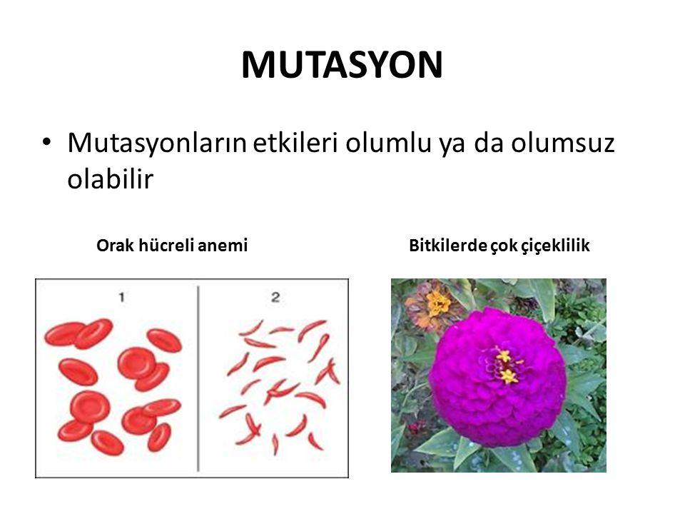 MUTASYON Mutasyonların etkileri olumlu ya da olumsuz olabilir Orak hücreli anemi Bitkilerde çok çiçeklilik