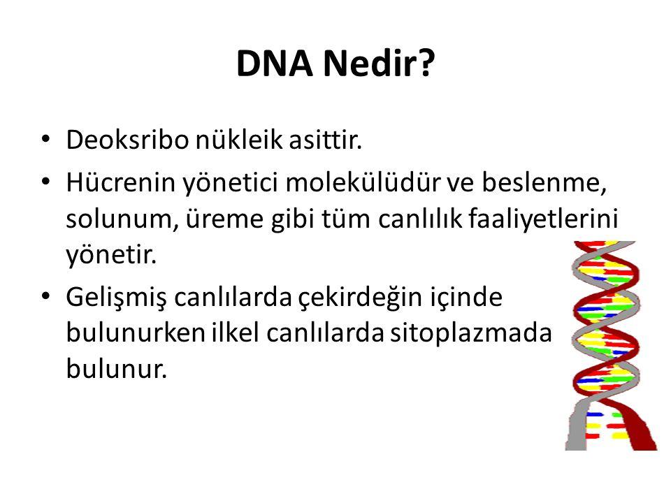 DNA Nedir? Deoksribo nükleik asittir. Hücrenin yönetici molekülüdür ve beslenme, solunum, üreme gibi tüm canlılık faaliyetlerini yönetir. Gelişmiş can