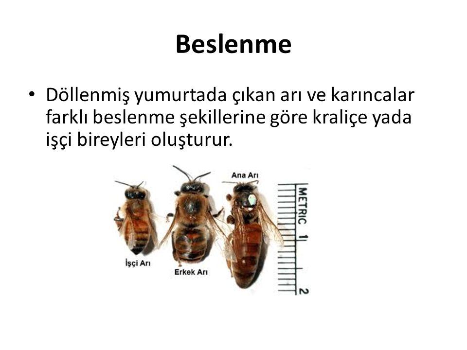 Beslenme Döllenmiş yumurtada çıkan arı ve karıncalar farklı beslenme şekillerine göre kraliçe yada işçi bireyleri oluşturur.