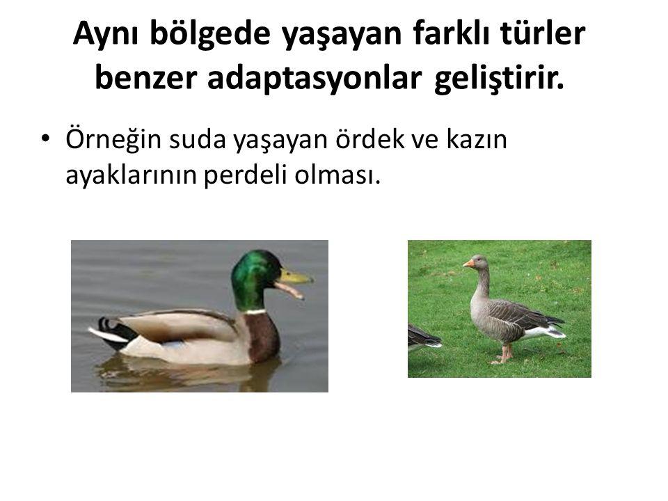 Aynı bölgede yaşayan farklı türler benzer adaptasyonlar geliştirir. Örneğin suda yaşayan ördek ve kazın ayaklarının perdeli olması.