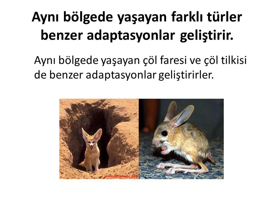 Aynı bölgede yaşayan farklı türler benzer adaptasyonlar geliştirir. Aynı bölgede yaşayan çöl faresi ve çöl tilkisi de benzer adaptasyonlar geliştirirl