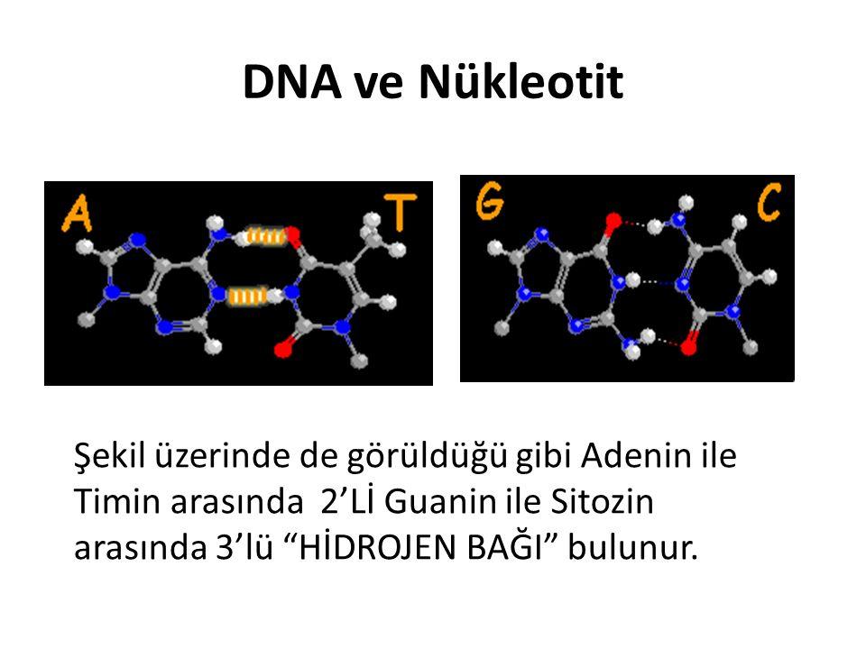 """DNA ve Nükleotit Şekil üzerinde de görüldüğü gibi Adenin ile Timin arasında 2'Lİ Guanin ile Sitozin arasında 3'lü """"HİDROJEN BAĞI"""" bulunur."""