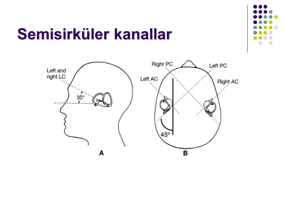 Vestibüler Sistem Periferik Periferik labirent, vestibüler sinir >>> beyin sapı labirent, vestibüler sinir >>> beyin sapı Santral Santral vestibüler n