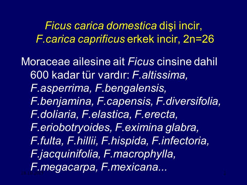 28.10.20152 Ficus carica domestica dişi incir, F.carica caprificus erkek incir, 2n=26 Moraceae ailesine ait Ficus cinsine dahil 600 kadar tür vardır: F.altissima, F.asperrima, F.bengalensis, F.benjamina, F.capensis, F.diversifolia, F.doliaria, F.elastica, F.erecta, F.eriobotryoides, F.eximina glabra, F.fulta, F.hillii, F.hispida, F.infectoria, F.jacquinifolia, F.macrophylla, F.megacarpa, F.mexicana...