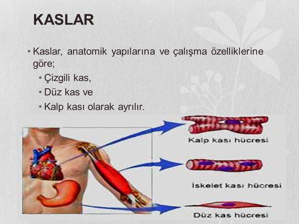 KASLAR Kaslar, anatomik yapılarına ve çalışma özelliklerine göre; Çizgili kas, Düz kas ve Kalp kası olarak ayrılır.