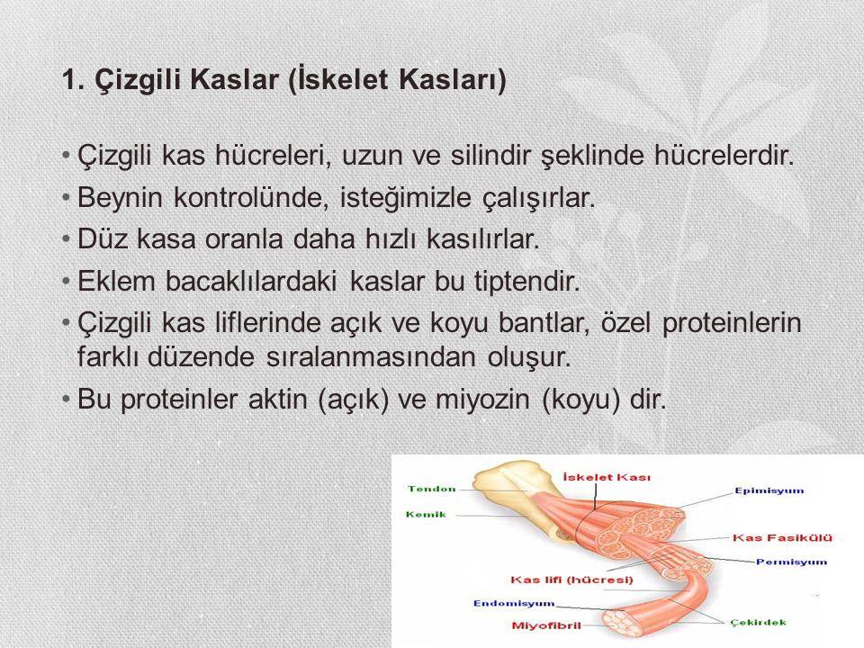 1. Çizgili Kaslar (İskelet Kasları) Çizgili kas hücreleri, uzun ve silindir şeklinde hücrelerdir. Beynin kontrolünde, isteğimizle çalışırlar. Düz kasa