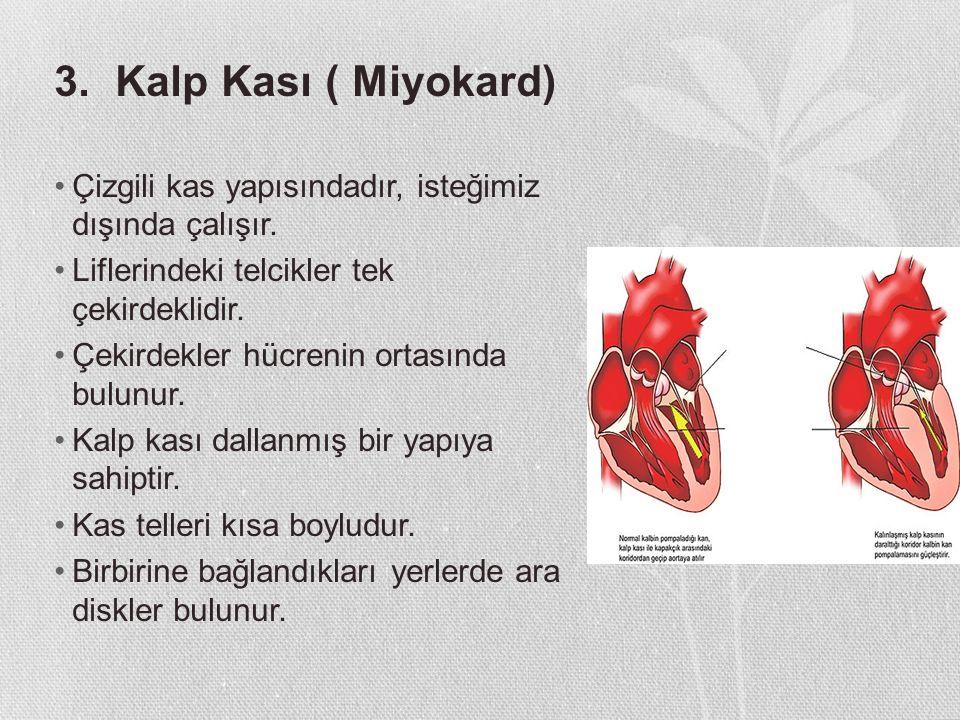 3. Kalp Kası ( Miyokard) Çizgili kas yapısındadır, isteğimiz dışında çalışır. Liflerindeki telcikler tek çekirdeklidir. Çekirdekler hücrenin ortasında