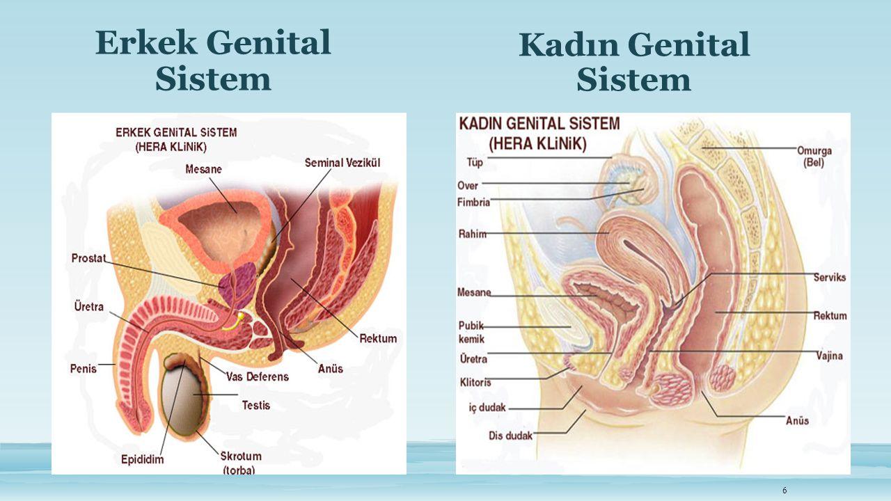 Erkek Genital Sistem 6 Kadın Genital Sistem