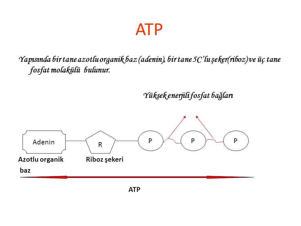 Yapısında bir tane azotlu organik baz (adenin), bir tane 5C'lu şeker(riboz) ve üç tane fosfat molakülü bulunur. Yüksek enerjili fosfat bağları ATP Ade