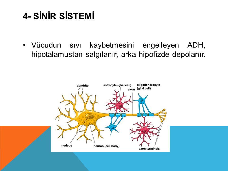 4- SİNİR SİSTEMİ Vücudun sıvı kaybetmesini engelleyen ADH, hipotalamustan salgılanır, arka hipofizde depolanır.