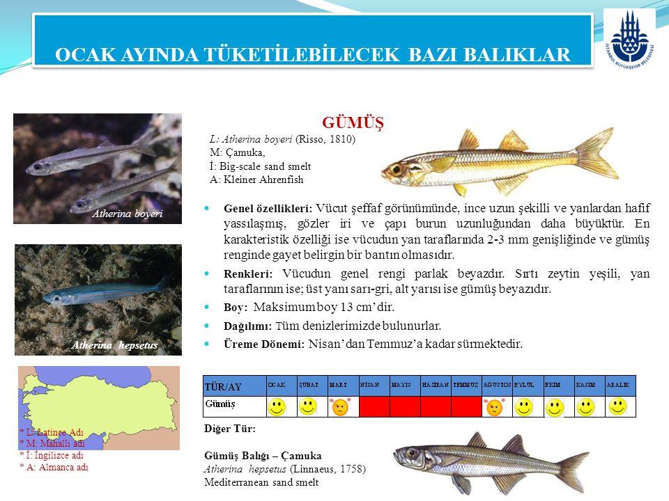 GÜMÜŞ L: Atherina boyeri (Risso, 1810) M: Çamuka, İ: Big-scale sand smelt A: Kleiner Ahrenfish OCAK AYINDA TÜKETİLEBİLECEK BAZI BALIKLAR Genel özellik