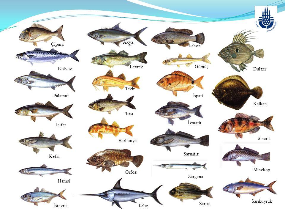 OCAK AYINDA TÜKETİLEBİLECEK BAZI BALIKLAR AKYA L: Lichia amia (Linnaeus, 1758) M: Kuzu, Çıplak, Leka, İskender Balığı İ: Leerfish A: Gabelmakrele F: Caranga  Genel Özellikleri:Vücudu derin ve yanlardan basıktır.