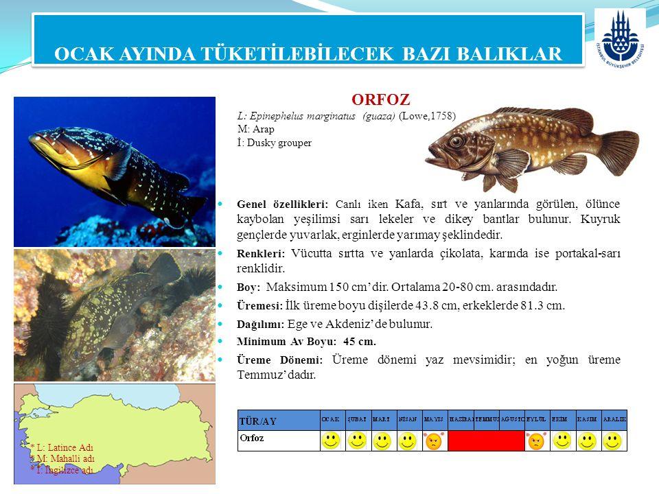 ORFOZ L: Epinephelus marginatus (guaza) (Lowe,1758) M: Arap İ: Dusky grouper OCAK AYINDA TÜKETİLEBİLECEK BAZI BALIKLAR Genel özellikleri: Canlı iken K