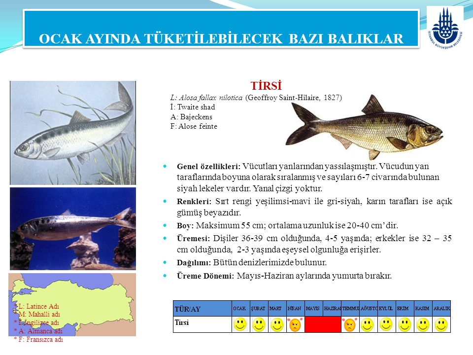 TİRSİ L: Alosa fallax nilotica (Geoffroy Saint-Hilaire, 1827) İ: Twaite shad A: Bajeckens F: Alose feinte OCAK AYINDA TÜKETİLEBİLECEK BAZI BALIKLAR Ge