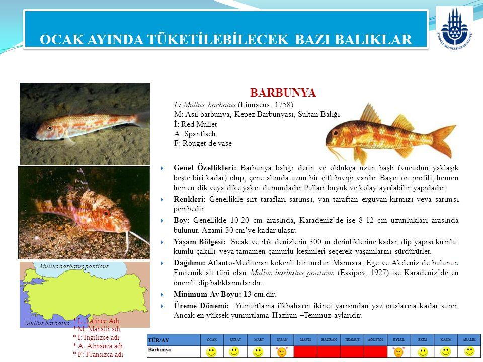 BARBUNYA L: Mullus barbatus (Linnaeus, 1758) M: Asıl barbunya, Kepez Barbunyası, Sultan Balığı İ: Red Mullet A: Spanfisch F: Rouget de vase  Genel Öz