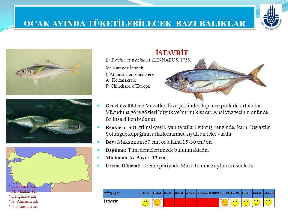 MİNEKOP L: Umbrina cirrosa (Linnaeus, 1758) M: Karakulak, Kötek, Han Balığı, Granyöz İ: Shi drum A: Gewönlicher Umber F: Ombrine côtiére OCAK AYINDA TÜKETİLEBİLECEK BAZI BALIKLAR Genel özellikleri: Sırtı kamburca, kafası gövdesine oranla küçüktür.